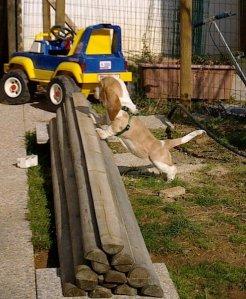 Basset Hound in casa - puppy basset esplora giardino