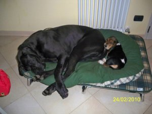 Basset Hound in casa - puppy basset e alano dormono insieme