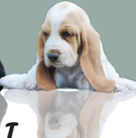 bassethound puppies kuorii